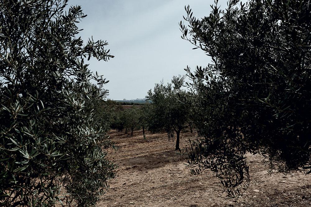 Olive trees at the Lovera's farm